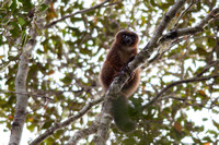 Red-bellied lemur | Andasibe NP | Madagascar