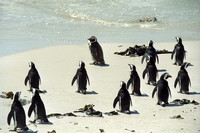Adelie Peguins | Simonstown | South Africa